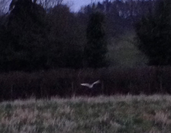 Barn owl at dusk flying over the set aside